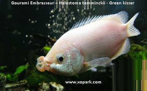 xopark3Gourami-Embrasseur—Helostoma-temminckii—Green-kisser
