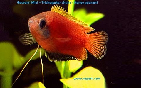 xopark3Gourami-Miel—Trichogaster-chuna—Honey-gourami
