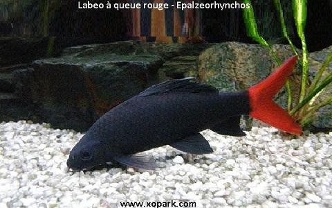 xopark3Labeo-à-queue-rouge—Epalzeorhynchos-bicolor—Bicolor-labeo