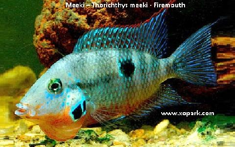 xopark3Meeki—Thorichthys-meeki—Firemouth