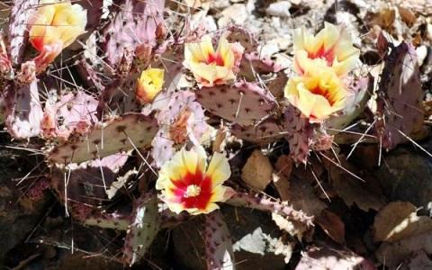 xopark3Opuntia-macrocentra—Opuntia-macrocentra-Engelm