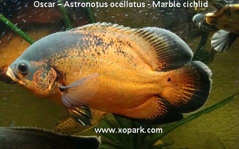 xopark3Oscar—Astronotus-ocellatus—Marble-cichlid
