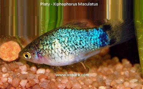 xopark3Platy—Xiphophorus-Maculatus—Wagtail-Platy