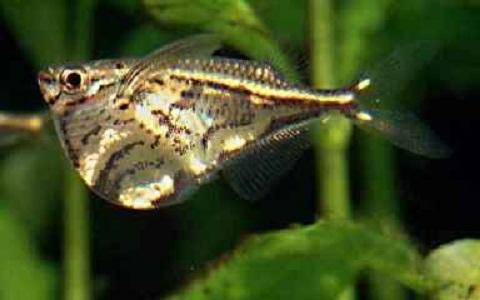 xopark3Poisson-hachette—Carnegiella-strigata-fasciata—Marbled-hatchetfish
