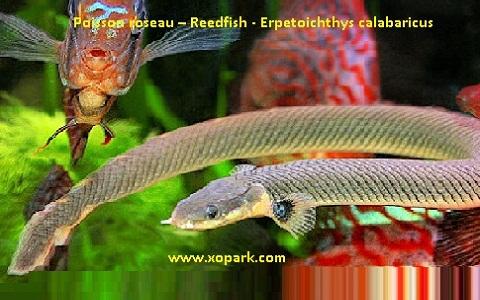 xopark3Poisson-roseau—Reedfish—Erpetoichthys-calabaricus