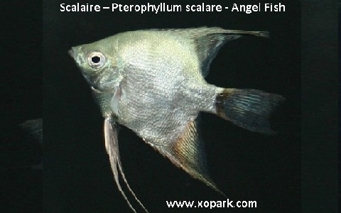 xopark3Scalaire—Pterophyllum-scalare—Angel-Fish