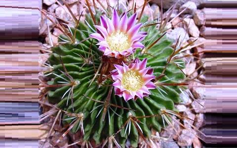 xopark3Stenocactus-hastatus