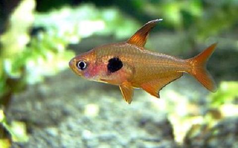 xopark3Tetra-fantome—Hyphessobrycon-megalopterus—Black-phantom-tetra