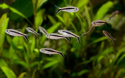 xopark3Tetra-penguin—Thayeria-boehlkei—Blackline-penguinfish