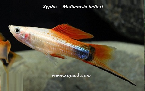 xopark3Xipho—Xiphophorus-hellerii—Green-swordtail