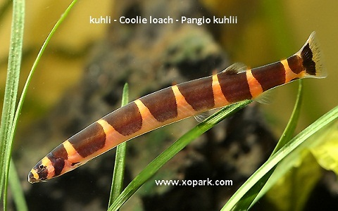 xopark3kuhli—Coolie-loach—Pangio-kuhlii