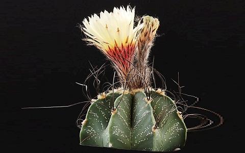 xopark4Astrophytum-capricorne—Goat_s-horn-cactus