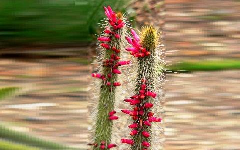 xopark4Cleistocactus-candelilla2