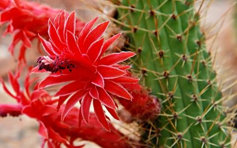 Cleistocactus samaipatanus