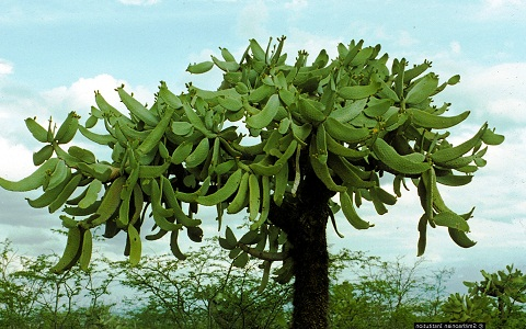 xopark4Consolea-moniliformis—Cactus-ferox—Nopalea-moniliformis