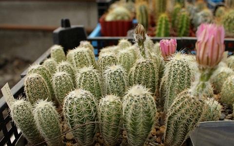 xopark4Echinocereus-pamanesiorum