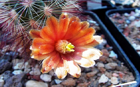 xopark4Echinocereus-russanthus