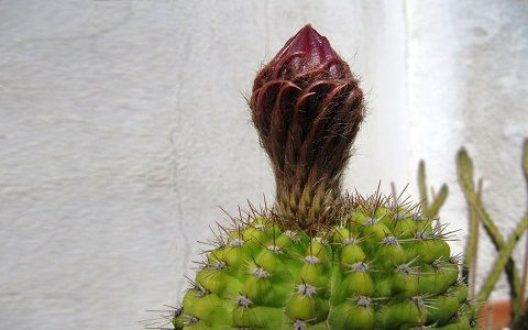 xopark4Echinopsis-calochlora