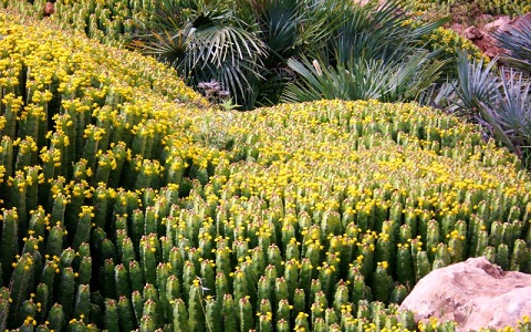 xopark4Euphorbes-du-Maroc—Euphorbia-resinifera—Resin-spurge