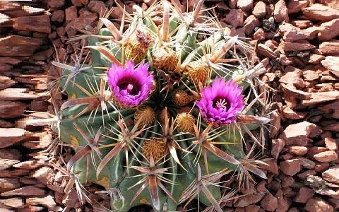 xopark4Ferocactus_latispinus