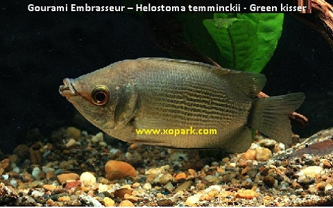xopark4Gourami-Embrasseur—Helostoma-temminckii—Green-kisser
