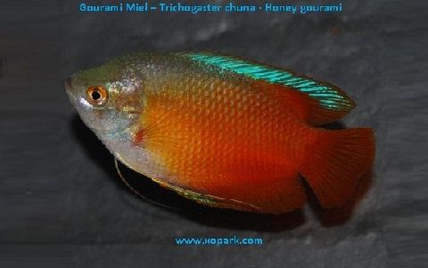 xopark4Gourami-Miel—Trichogaster-chuna—Honey-gourami
