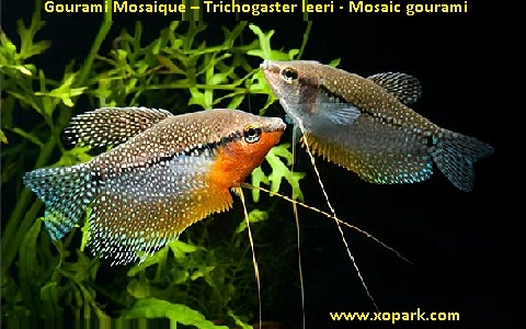 xopark4Gourami-Mosaique—Trichogaster-leeri—Mosaic-gourami
