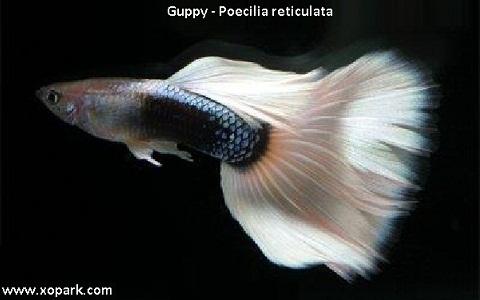 xopark4Guppy—Poecilia-reticulata—Million-fish