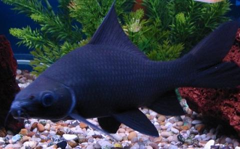 xopark4Labéo-noir—Chrysophekadion-polyporos—Black-sharkminnow