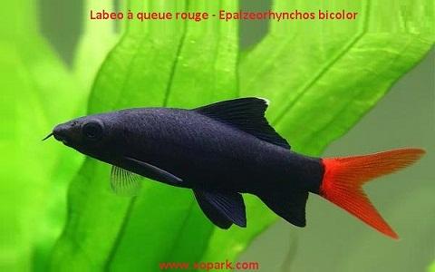 xopark4Labeo-à-queue-rouge—Epalzeorhynchos-bicolor—Bicolor-labeo