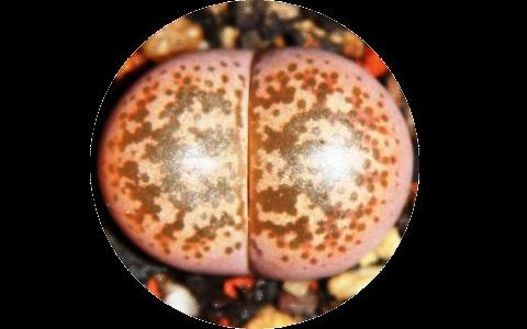 xopark4Lithops-coleorum