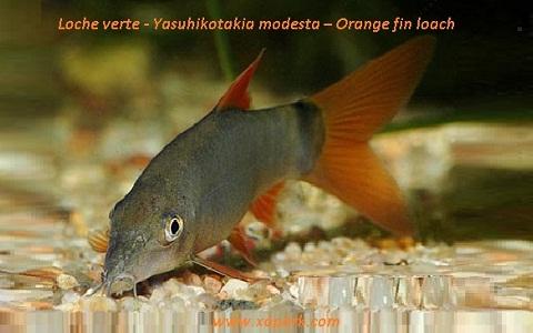 xopark4Loche verte—Yasuhikotakia-modesta—Orange-fin-loach