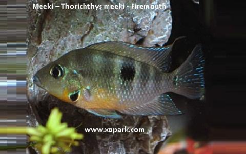 xopark4Meeki—Thorichthys-meeki—Firemouth