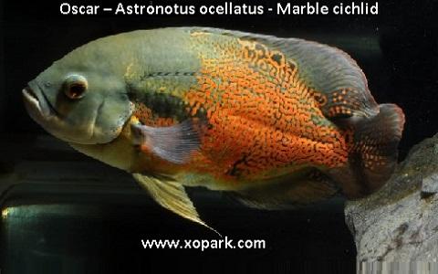 xopark4Oscar—Astronotus-ocellatus—Marble-cichlid