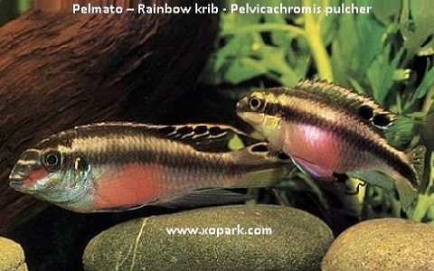 xopark4Pelmato—Rainbow-krib—Pelvicachromis-pulcher