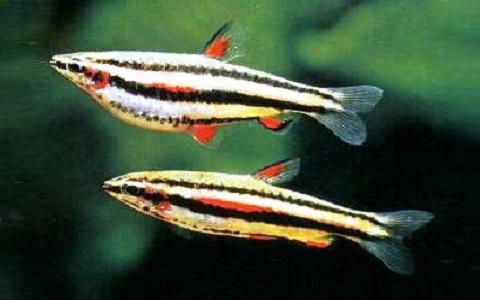 xopark4Poisson-crayon-dore—Nannostomus-anomalus—Golden-pencilfish