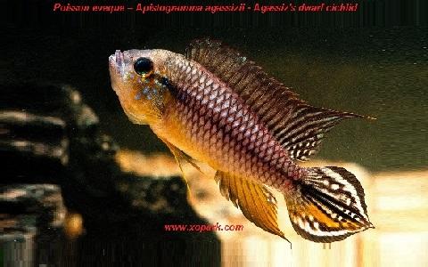 xopark4Poisson-eveque—Apistogramma-agassizii—Agassizs-dwarf-cichlid