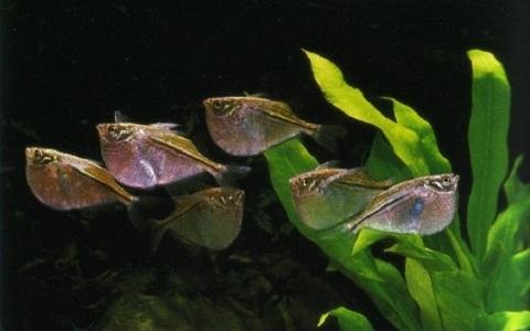 xopark4Poisson-hachette—Carnegiella-strigata-fasciata—Marbled-hatchetfish
