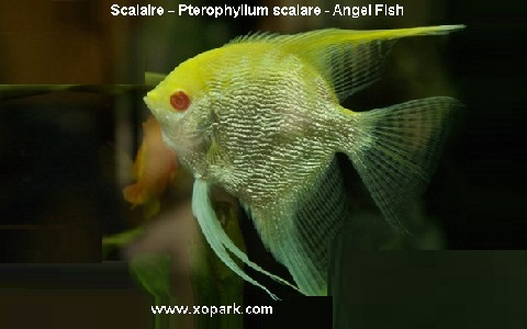 xopark4Scalaire—Pterophyllum-scalare—Angel-Fish
