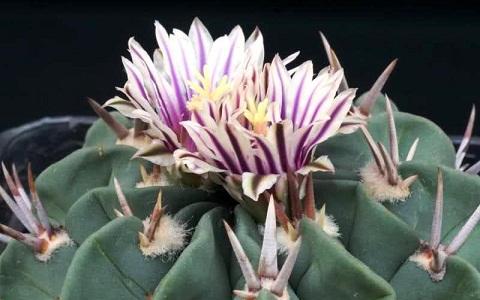 xopark4Stenocactus-hastatus
