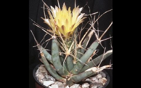xopark5Agave-cactus—Prism-cactus—Leuchtenbergia-principis