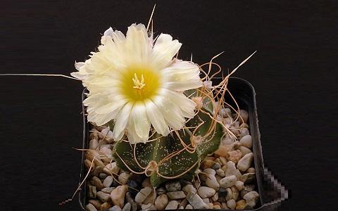 xopark5Astrophytum-capricorne—Goat_s-horn-cactus