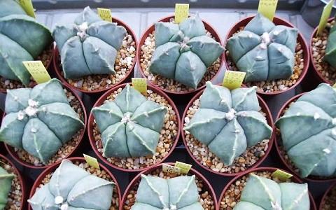 xopark5Bonnet-d_Evêque—Astrophytum-myriostigma—Bishop_s-Cap-Cactus