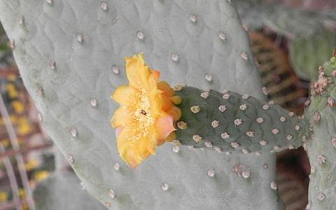 xopark5Consolea-moniliformis—Cactus-ferox—Nopalea-moniliformis