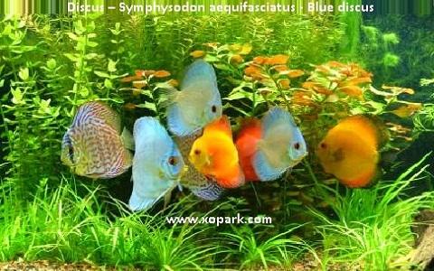 xopark5Discus—Symphysodon-aequifasciatus—Blue-discus