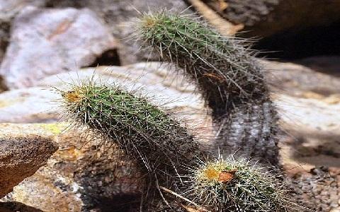 xopark5Echinocereus-pamanesiorum