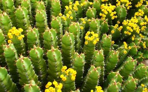 xopark5Euphorbes-du-Maroc—Euphorbia-resinifera—Resin-spurge