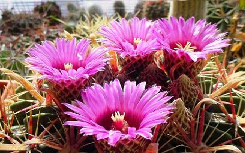 xopark5Ferocactus-chrysacanthus