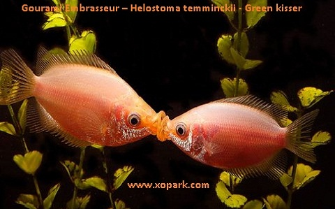 xopark5Gourami-Embrasseur—Helostoma-temminckii—Green-kisser
