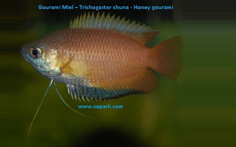 xopark5Gourami-Miel—Trichogaster-chuna—Honey-gourami